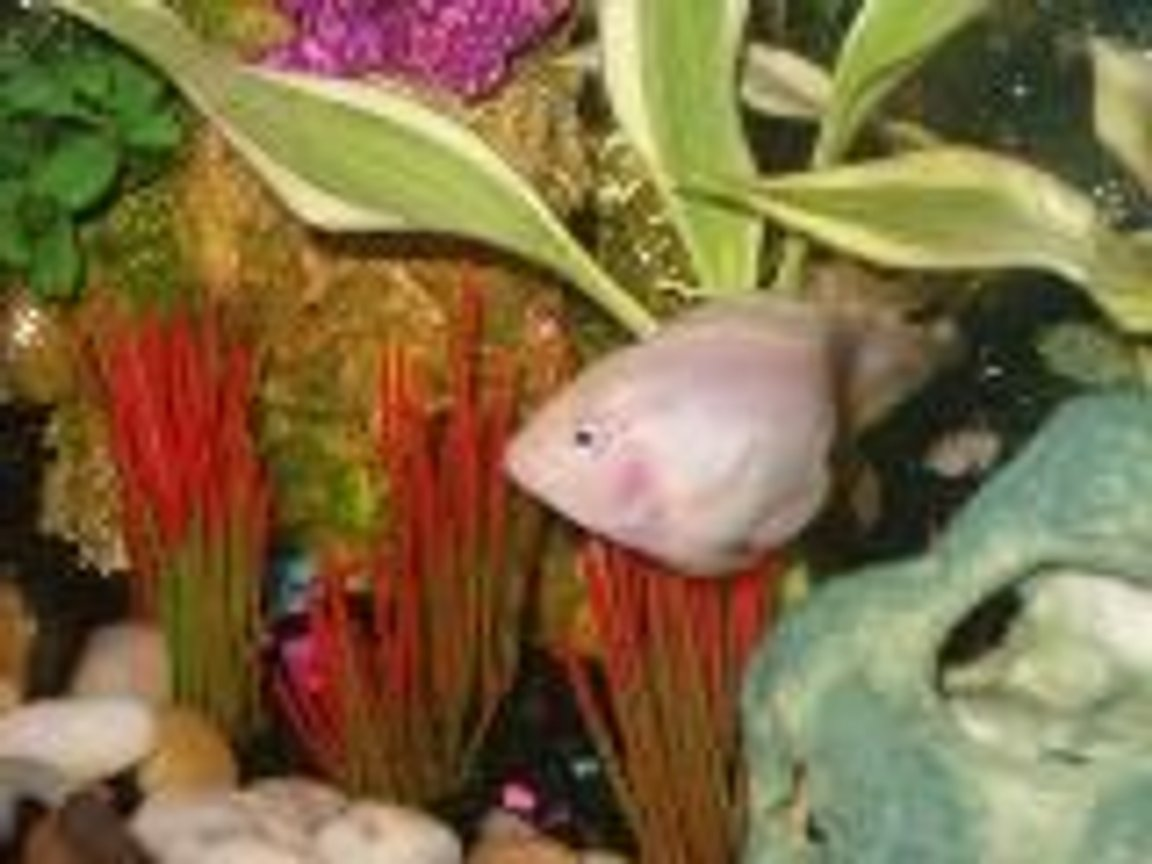freshwater fish - hoplarchus psittacus - parrot cichlid stocking in 30 gallons tank - Parrot Fish