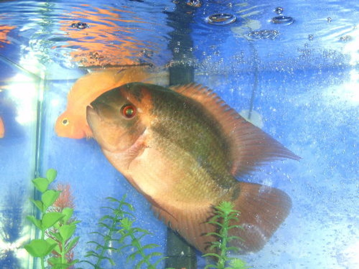 freshwater fish - hypselecara temporalis - chocolate cichlid stocking in 55 gallons tank - chocolate cichlid