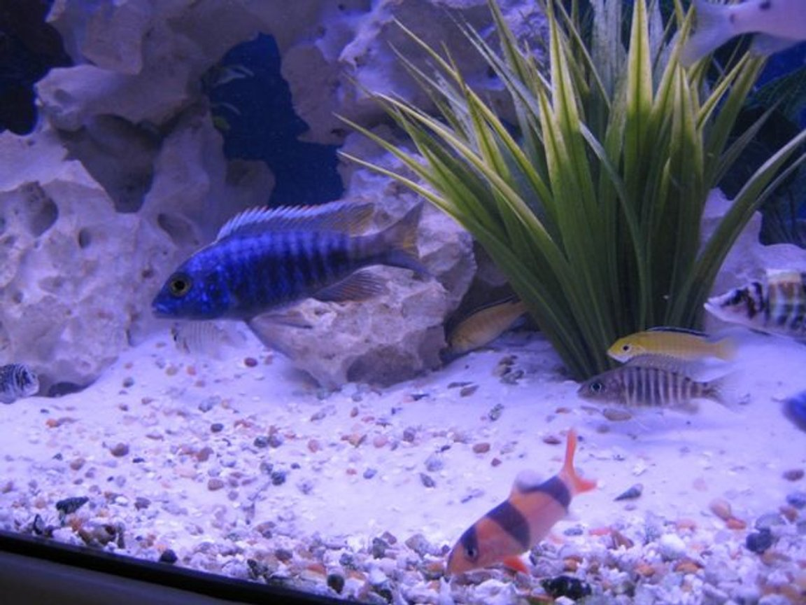 freshwater fish - labidochromis caeruleus - electric yellow cichlid stocking in 75 gallons tank - Fish pic 2
