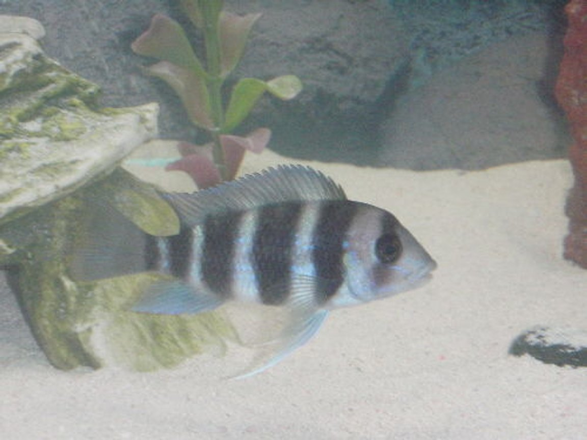 "freshwater fish - cyphotilapia frontosa - frontosa cichlid stocking in 55 gallons tank - strutting his stuff 3"" frontosa"