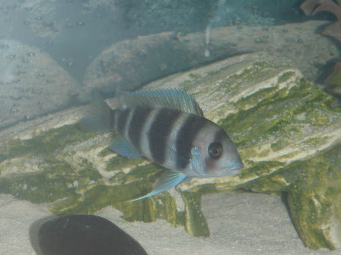 freshwater fish - cyphotilapia frontosa - frontosa cichlid stocking in 55 gallons tank - the fronz