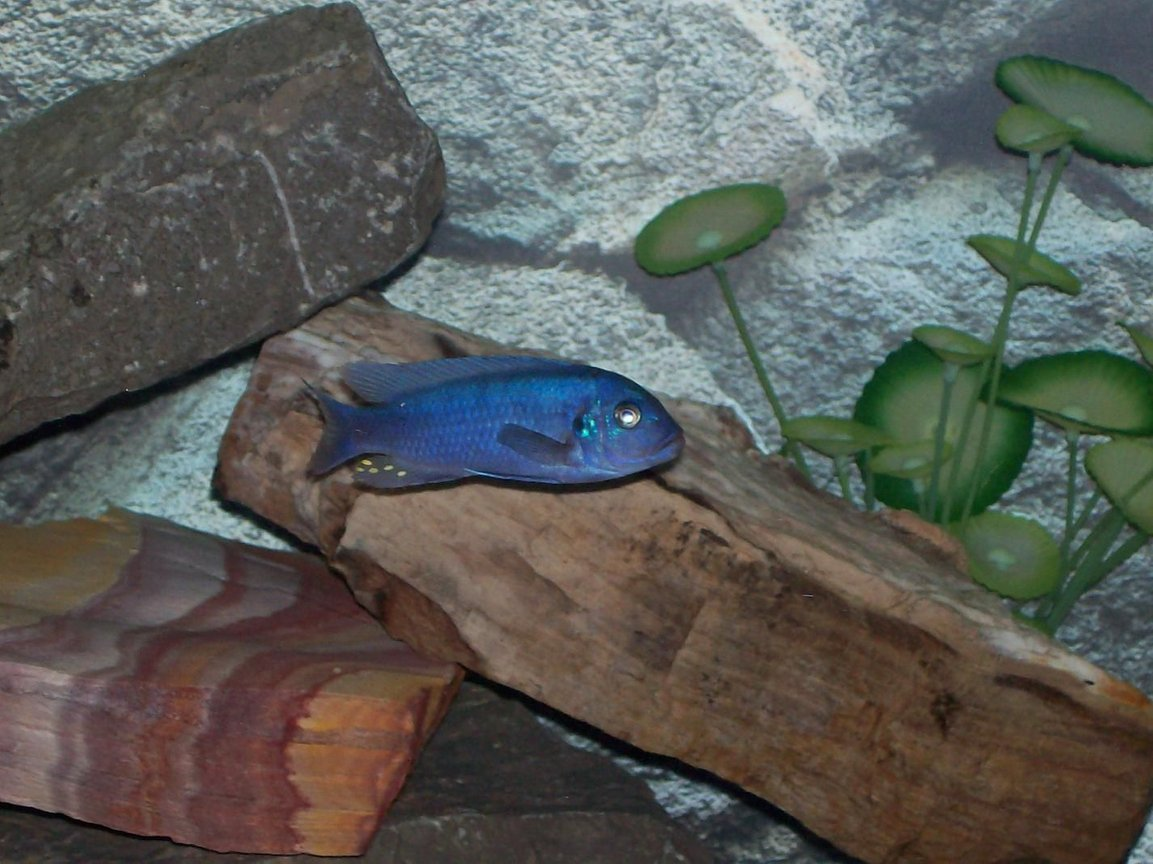 freshwater fish - metriaclima callainos - cobalt blue zebra cichlid stocking in 110 gallons tank - Male Metriaclima callainos (Cobalt Zebra)