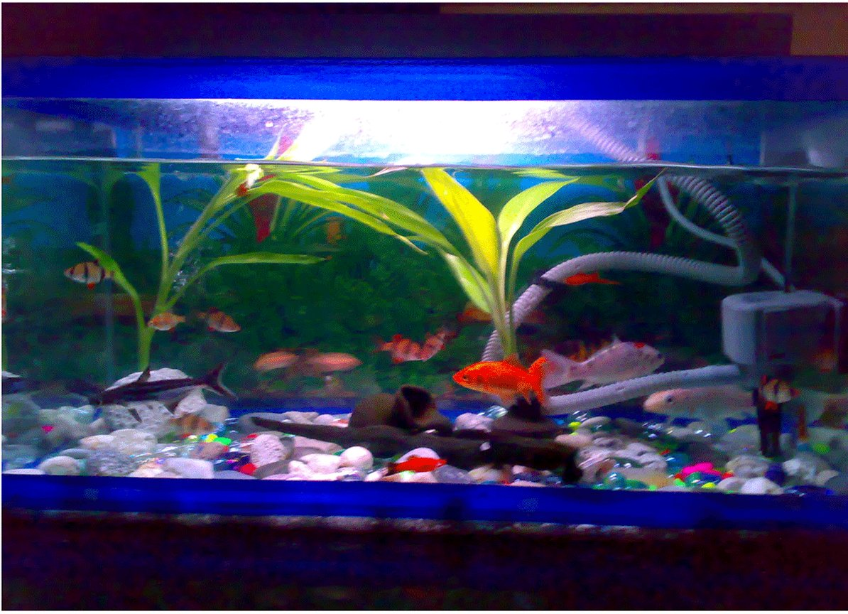freshwater fish - puntius tetrazona - tiger barb stocking in 15 gallons tank - 15 tiger barb fish(3 albino), 2 shark catfish, 3 koi fish, 3 swordtail, 1 goldfish. (in 1 aquarium) I have a filter with oxygen. fishes ofcourse . pot, log. plants