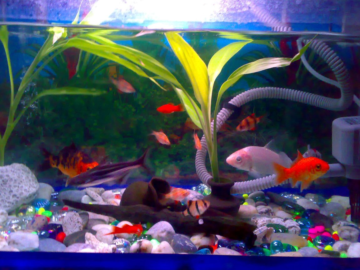 freshwater fish - puntius tetrazona - tiger barb stocking in 15 gallons tank - A 15 gallon tank. . 15 tiger barb fish(3 albino), 2 shark catfish, 3 koi fish, 3 swordtail, 1 goldfish. (in 1 aquarium) I have a filter with oxygen. fishes ofcourse . pot, log. plants. (this is the same aquarium)