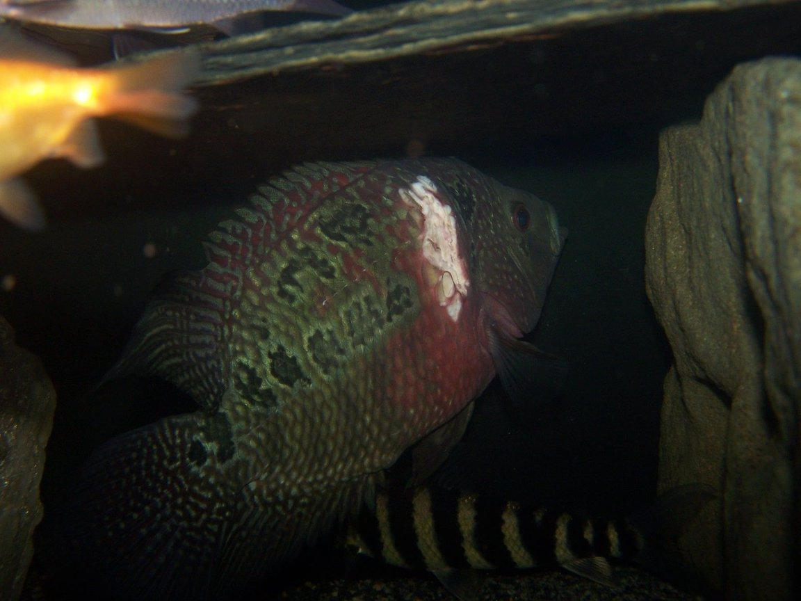 freshwater fish - cichlasoma sp. - flower horn cichlid stocking in 66 gallons tank - my flowerhorn with injury