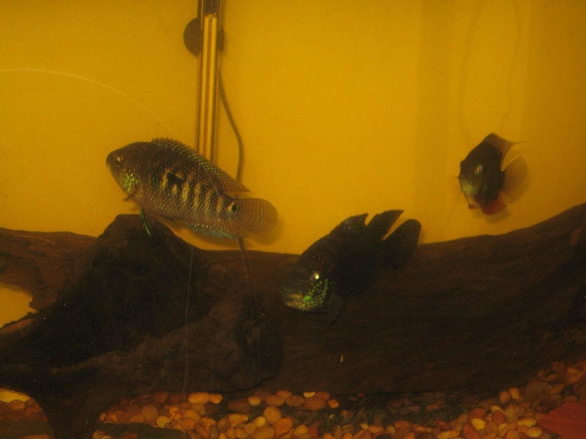 freshwater fish - thorichthys meeki - firemouth cichlid stocking in 75 gallons tank - another view