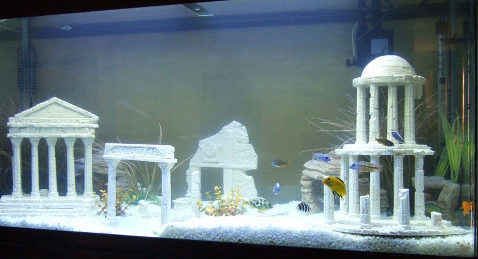 freshwater fish - betta splendens - betta - male stocking in 1 gallon tank - the lost city of atlantis