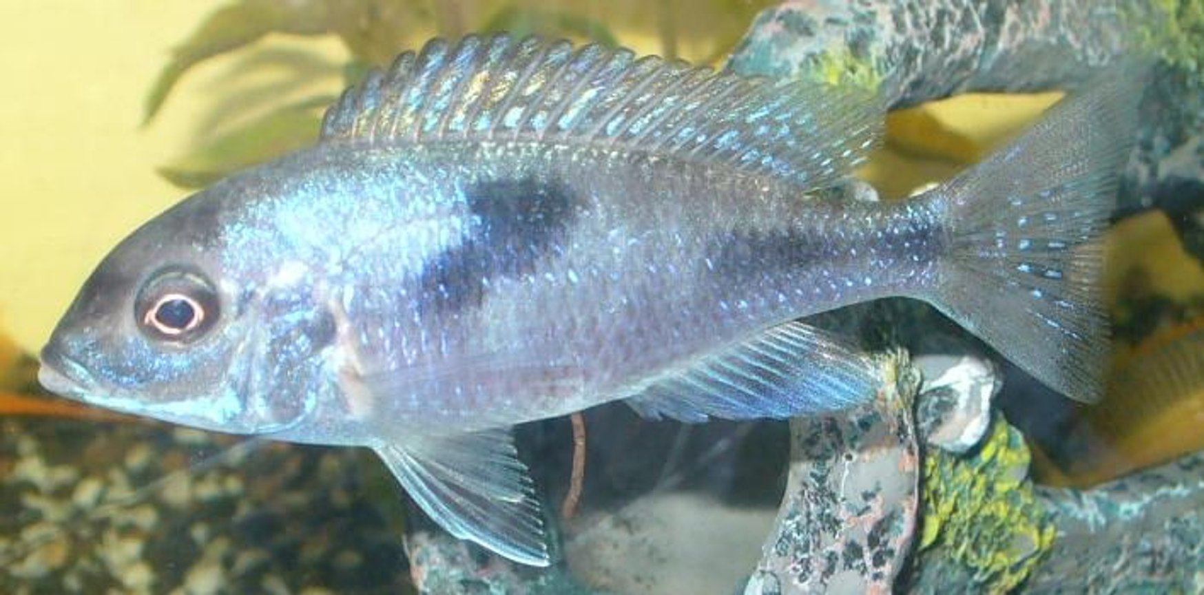 freshwater fish - cyrtocara moorii - blue dolphin cichlid stocking in 100 gallons tank - Blue Dolphin. Love the colour in them
