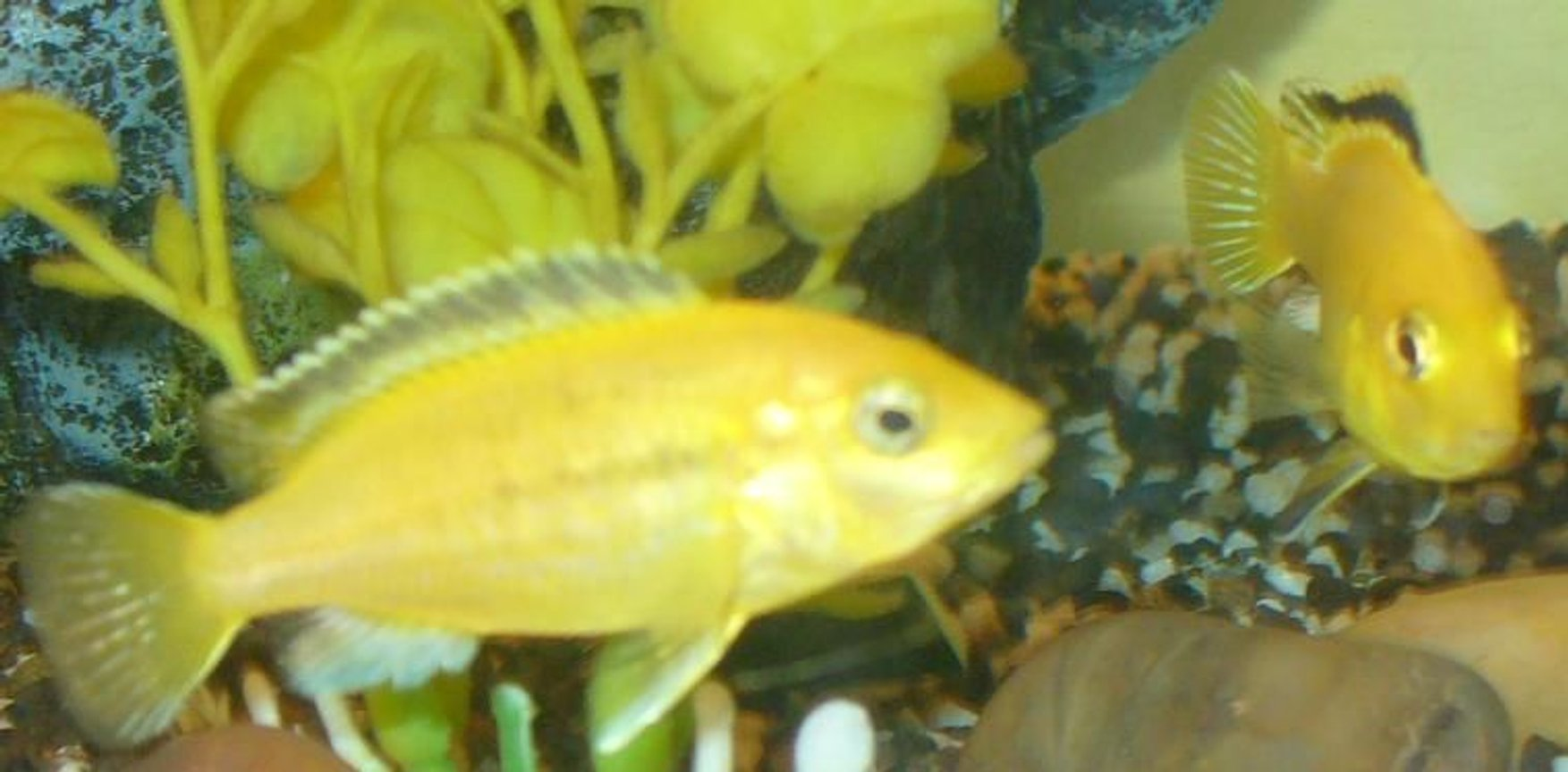 freshwater fish - labidochromis caeruleus - electric yellow cichlid stocking in 100 gallons tank - Electric Yellows (a little blurry sorry but they are hard to catch lol)