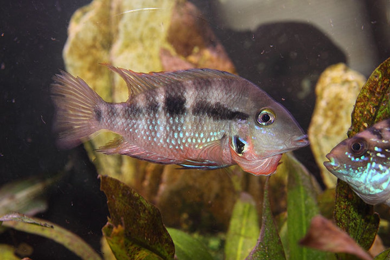 freshwater fish - thorichthys meeki - firemouth cichlid stocking in 45 gallons tank - Firemouth agressing my Jack Dempsey