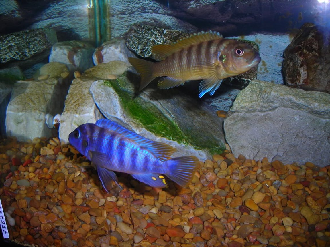 freshwater fish - labeotropheus fuelleborni - fuelleborni cichlid, marmalade stocking in 55 gallons tank - More Unknown African Cichlids. If You Know Breed Please Advise.