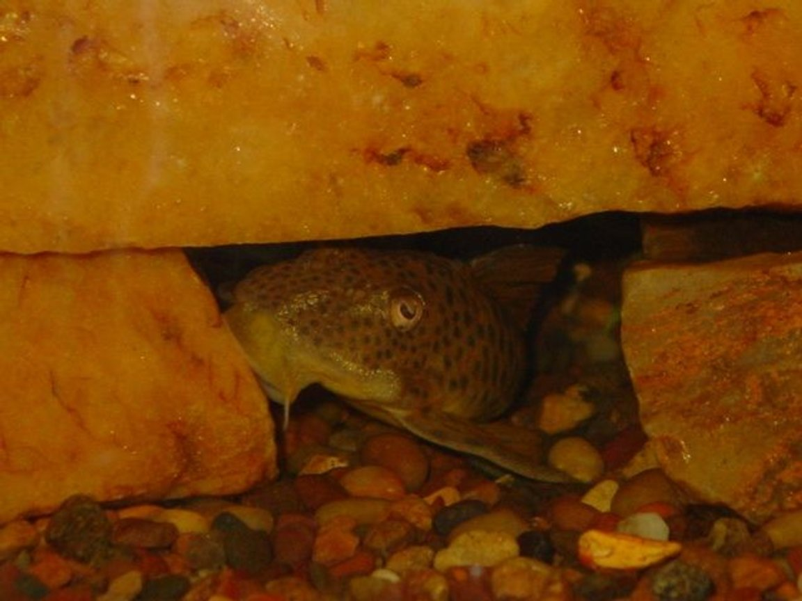 freshwater fish - pleco ancistomus big spot l163 stocking in 55 gallons tank - My L163 Cobra ~ Cookie Dough, the boys named her, it fits just fine~