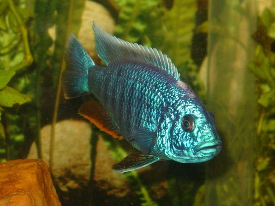 freshwater fish - sciaenochromis fryeri - electric blue hap stocking in 55 gallons tank - My gorgeous Electric Blue Ahli, Beebee ~ we found out his mate was actually another male and they weren't mating, they were fighting, so we are getting some more Ahli's to find him a friend! ~
