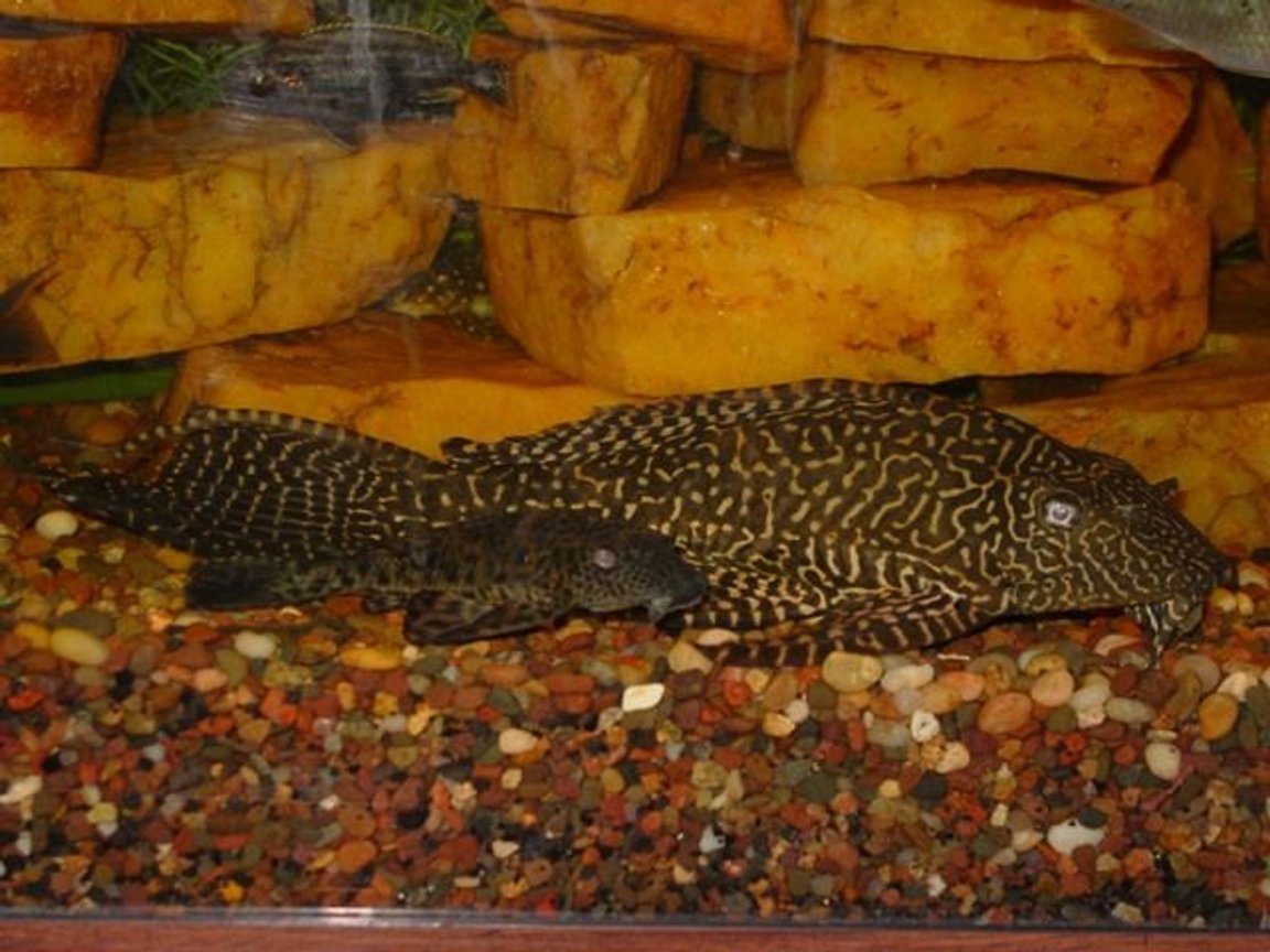 "freshwater fish - glyptoperichthys gibbiceps - sailfin pleco (l-83) stocking in 55 gallons tank - ""Phil"" and friend ~ Common plecos ~ Awwww.... don't they look cute and cuddly? ~"