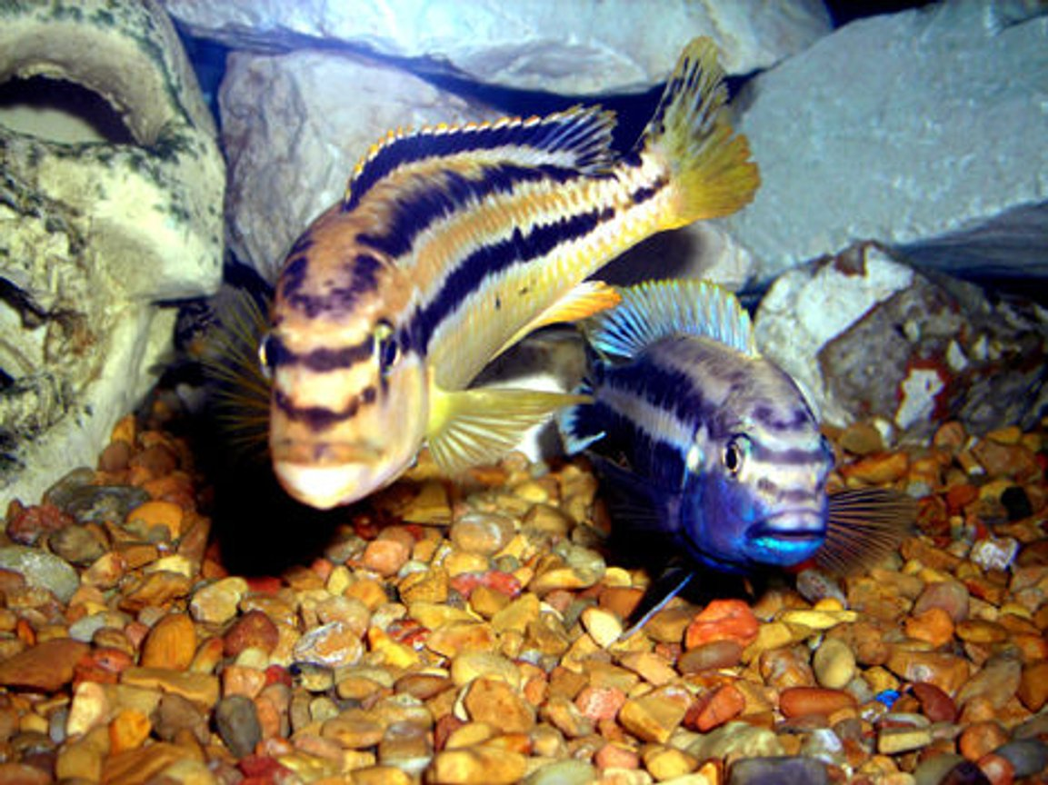 freshwater fish - melanochromis auratus - auratus cichlid stocking in 55 gallons tank - Melanochromis auratus Male and Female.