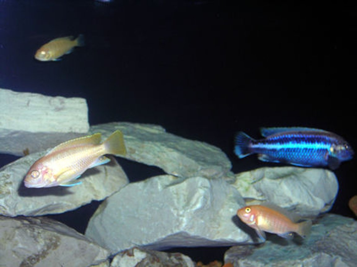 freshwater fish - aulonocara sp. - albino peacock cichlid stocking in 55 gallons tank - Group Shot.