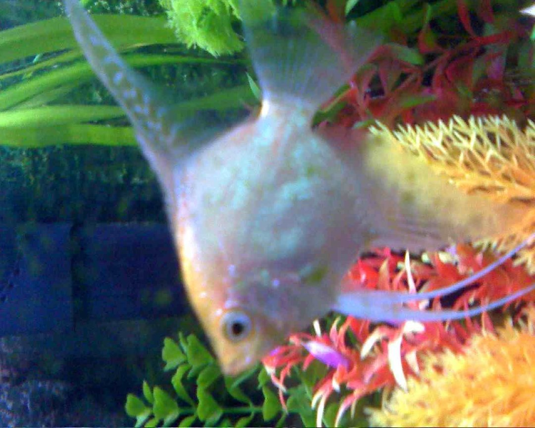 freshwater fish - pterophyllum sp. - red angel stocking in 45 gallons tank - Beauty!
