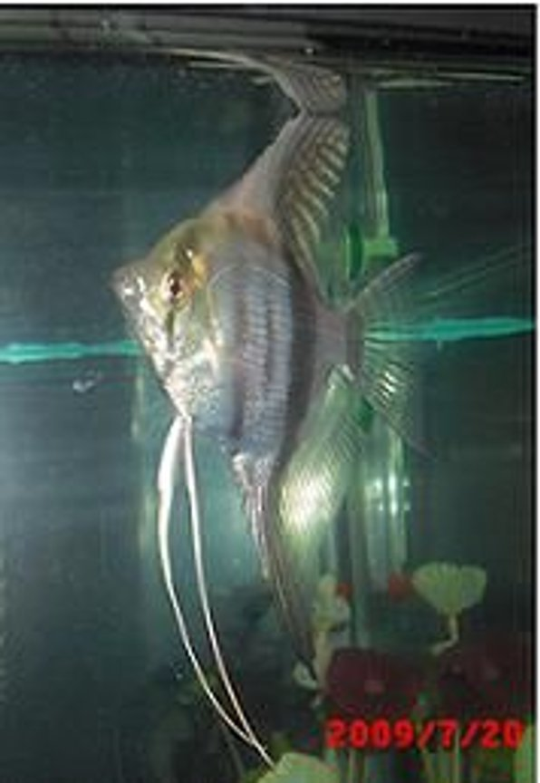 "freshwater fish - pterophyllum sp. - silver zebra angel stocking in 40 gallons tank - this is Marty! (''){'o'}("") my silver zebra angelfish!"