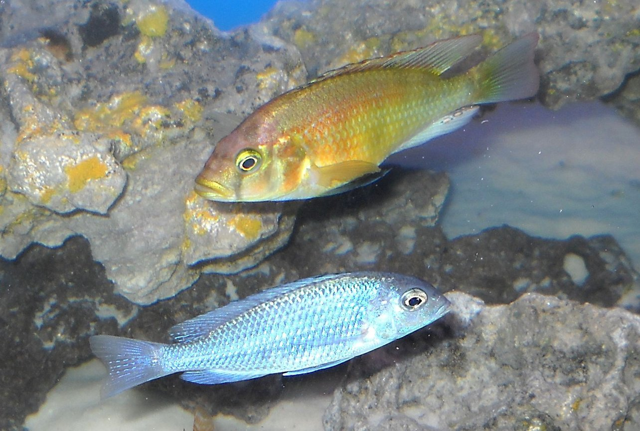 freshwater fish - cyrtocara moorii - blue dolphin cichlid stocking in 120 gallons tank - moorii, and limax hap.