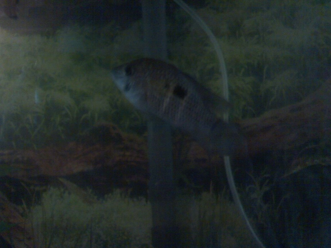 freshwater fish - aequidens rivulatus - green terror stocking in 55 gallons tank - bizarre my 2 in. female green terror