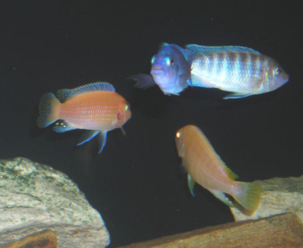 freshwater fish - aulonocara nyassae - blue peacock cichlid stocking in 55 gallons tank - African Mbuna Group Shot.