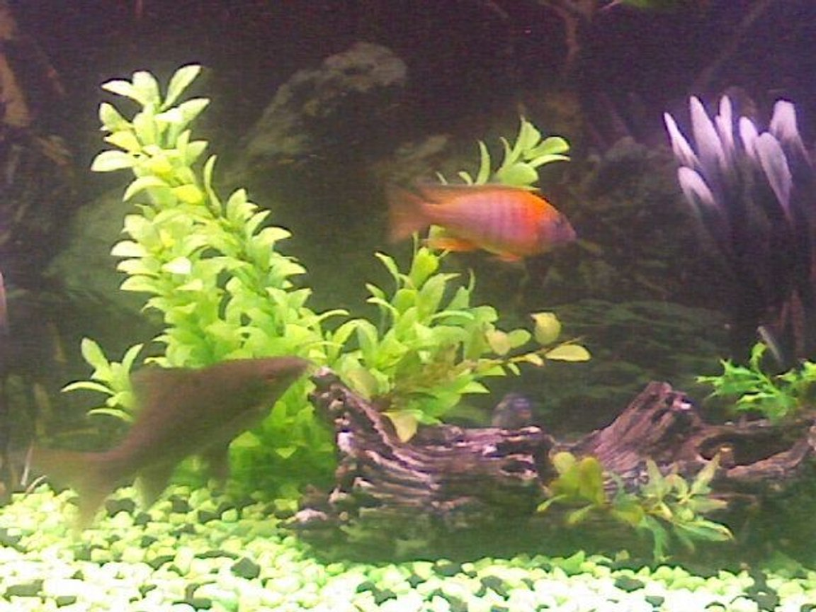 freshwater fish - aulonocara rubescens - ruby red peacock stocking in 60 gallons tank - this is my black shark chasing my peacock cichlid. the black shark is the only fish that I have found that is aggressive enough to live with my cichlids.it actualy runs my tank