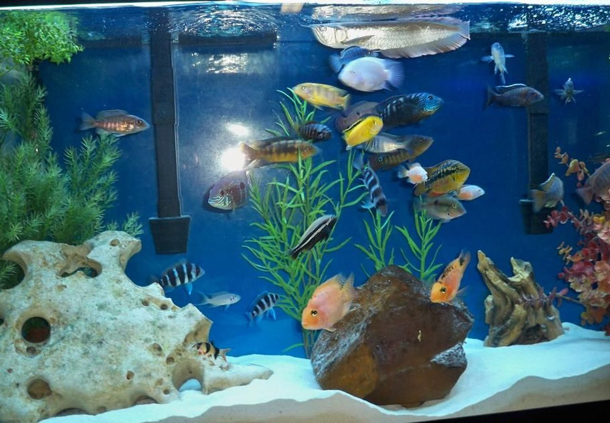 freshwater fish - cyphotilapia frontosa - frontosa cichlid stocking in 60 gallons tank - time to eat!!!
