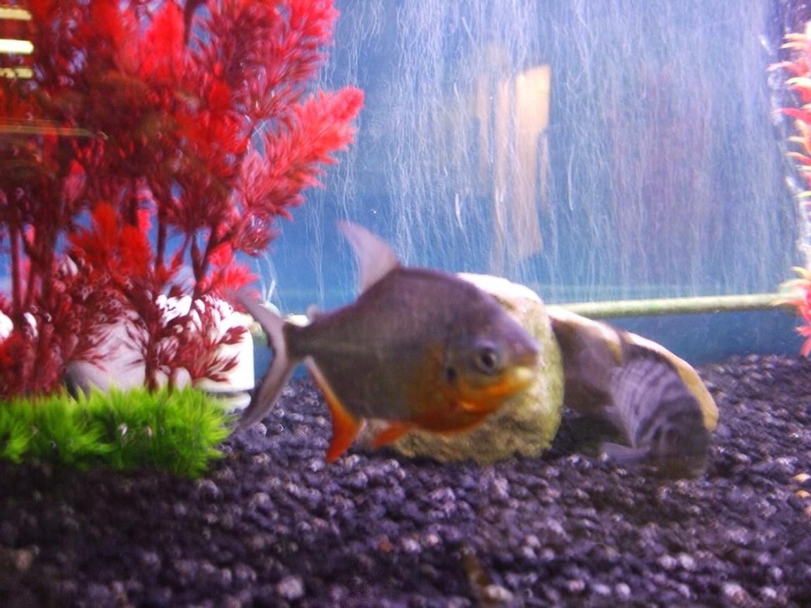 freshwater fish - piaractus brachypomum - red belly pacu stocking in 125 gallons tank - Red Belly Pacu