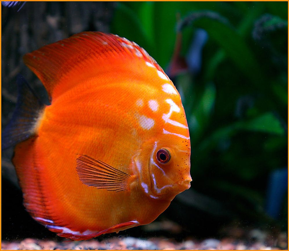 freshwater fish - symphysodon sp. - red marlboro discus stocking in 180 gallons tank - Full Grown Red Marlboro, he is about 7 years old now.