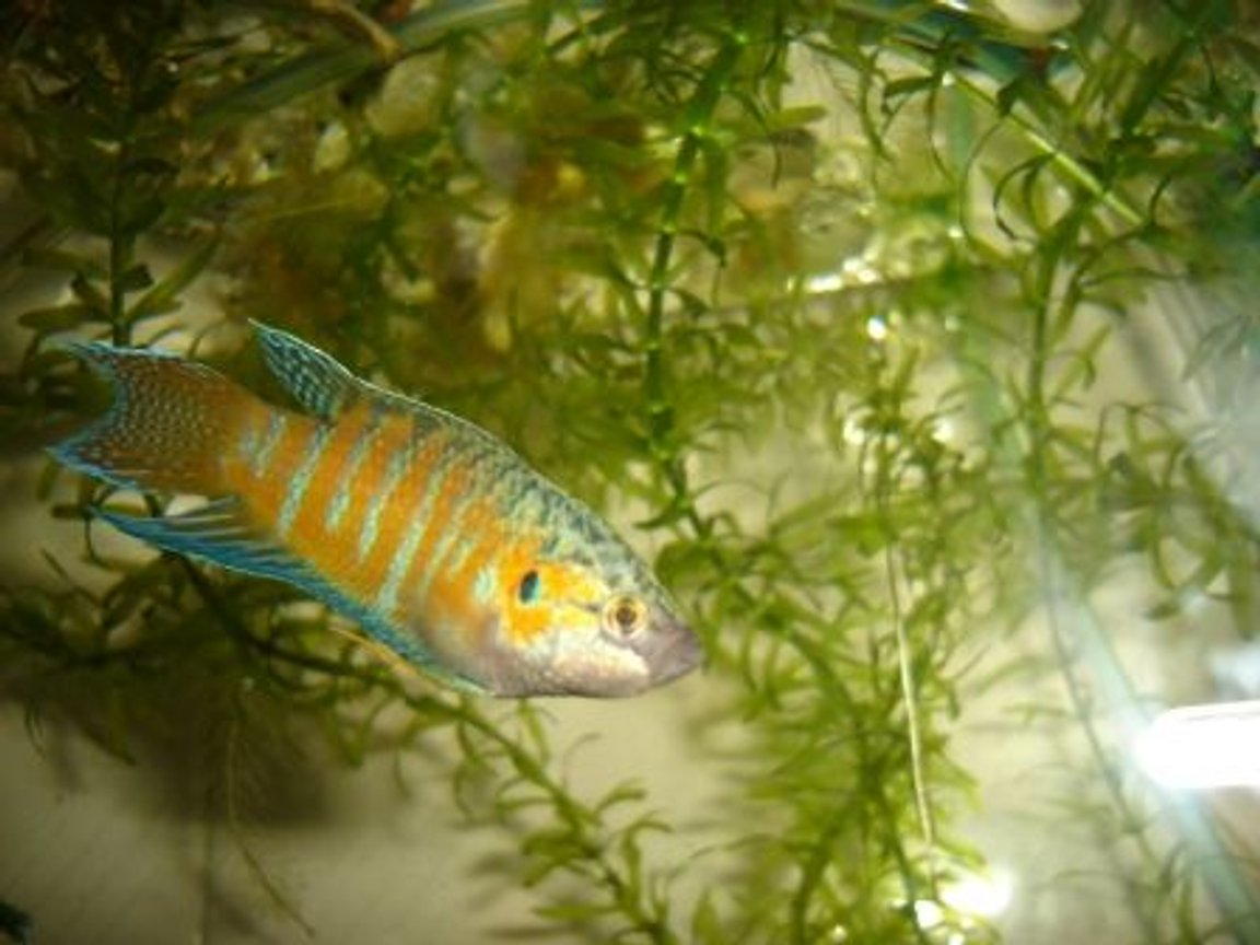 freshwater fish - macropodus opercularis - blue paradise stocking in 70 gallons tank - paradis gourami
