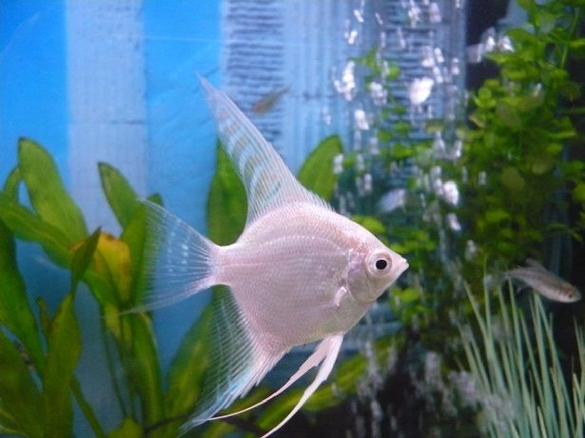 freshwater fish - pterophyllum sp. - albino angel stocking in 55 gallons tank - white angel fish