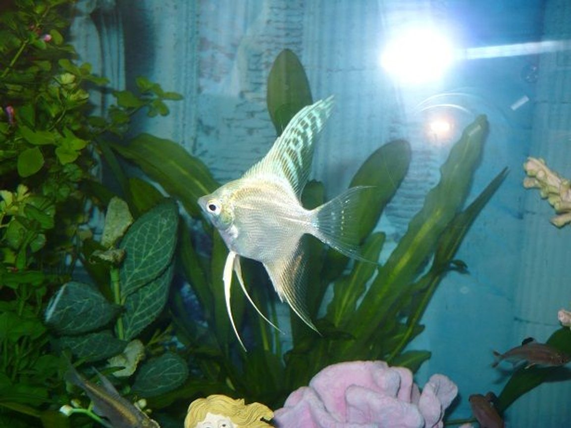 freshwater fish - pterophyllum sp. - gold veil angel stocking in 55 gallons tank - another white angel fish picture
