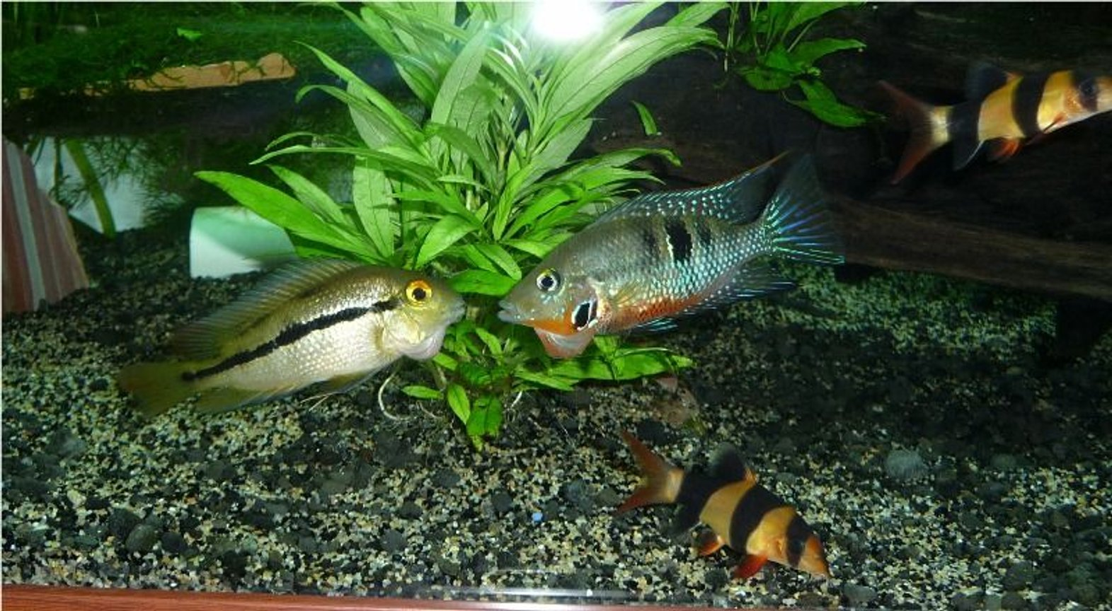 freshwater fish - thorichthys meeki - firemouth cichlid stocking in 85 gallons tank - nicaraguensis with aggresive firemouth I got rid off
