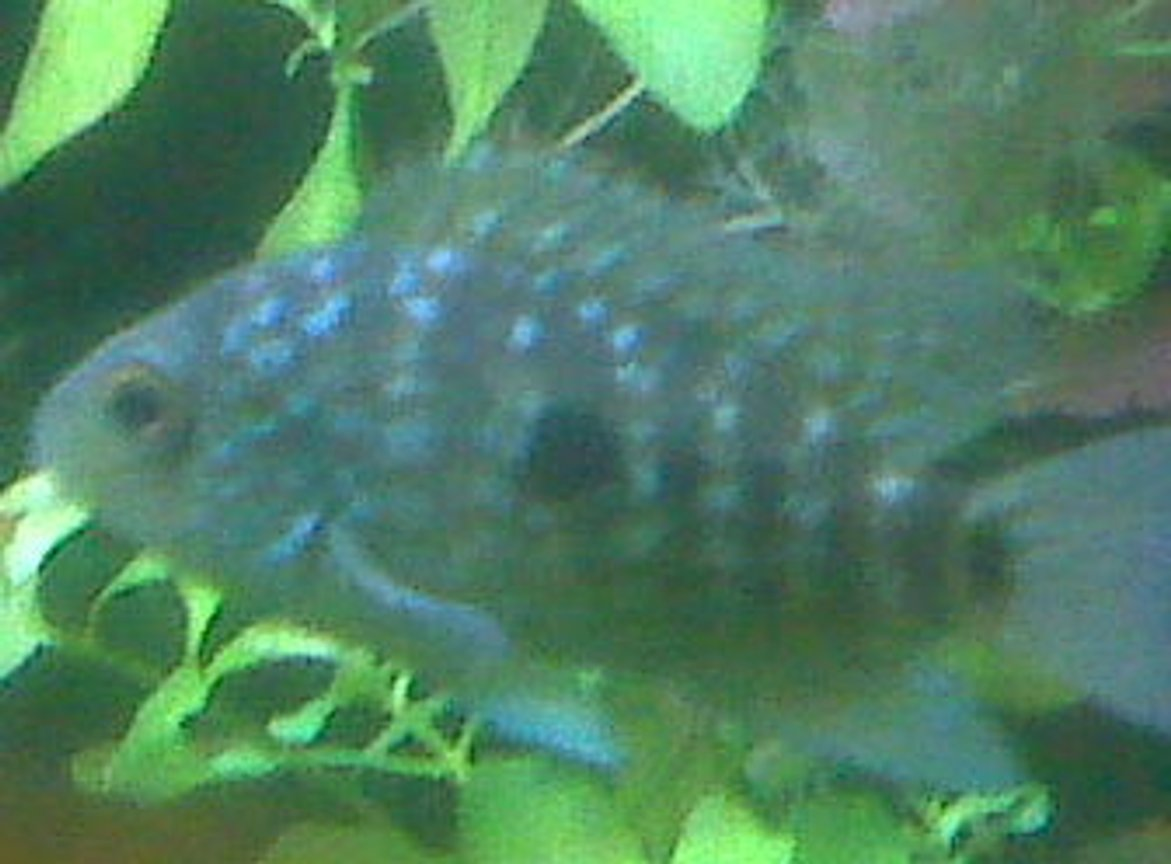 freshwater fish - herichthys carpinte - green texas cichlid stocking in 85 gallons tank - Green Texas