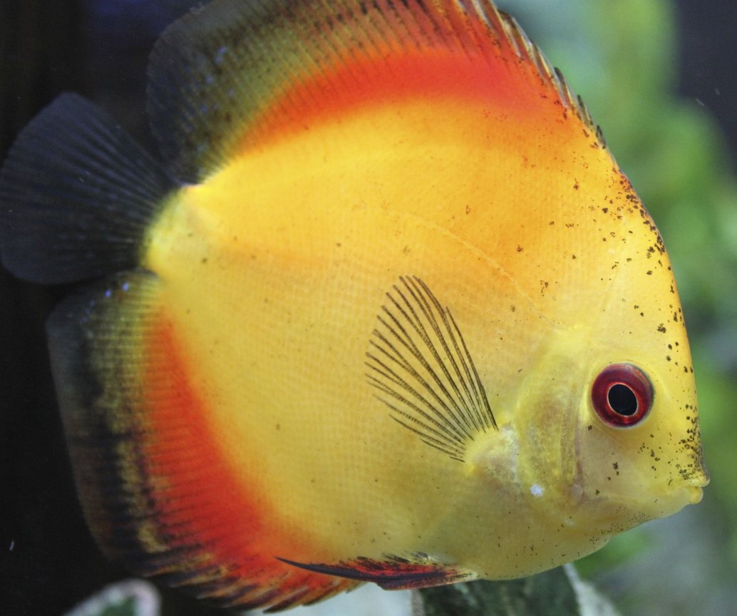 freshwater fish - symphysodon sp. - yellow marlboro discus stocking in 150 gallons tank - Discus