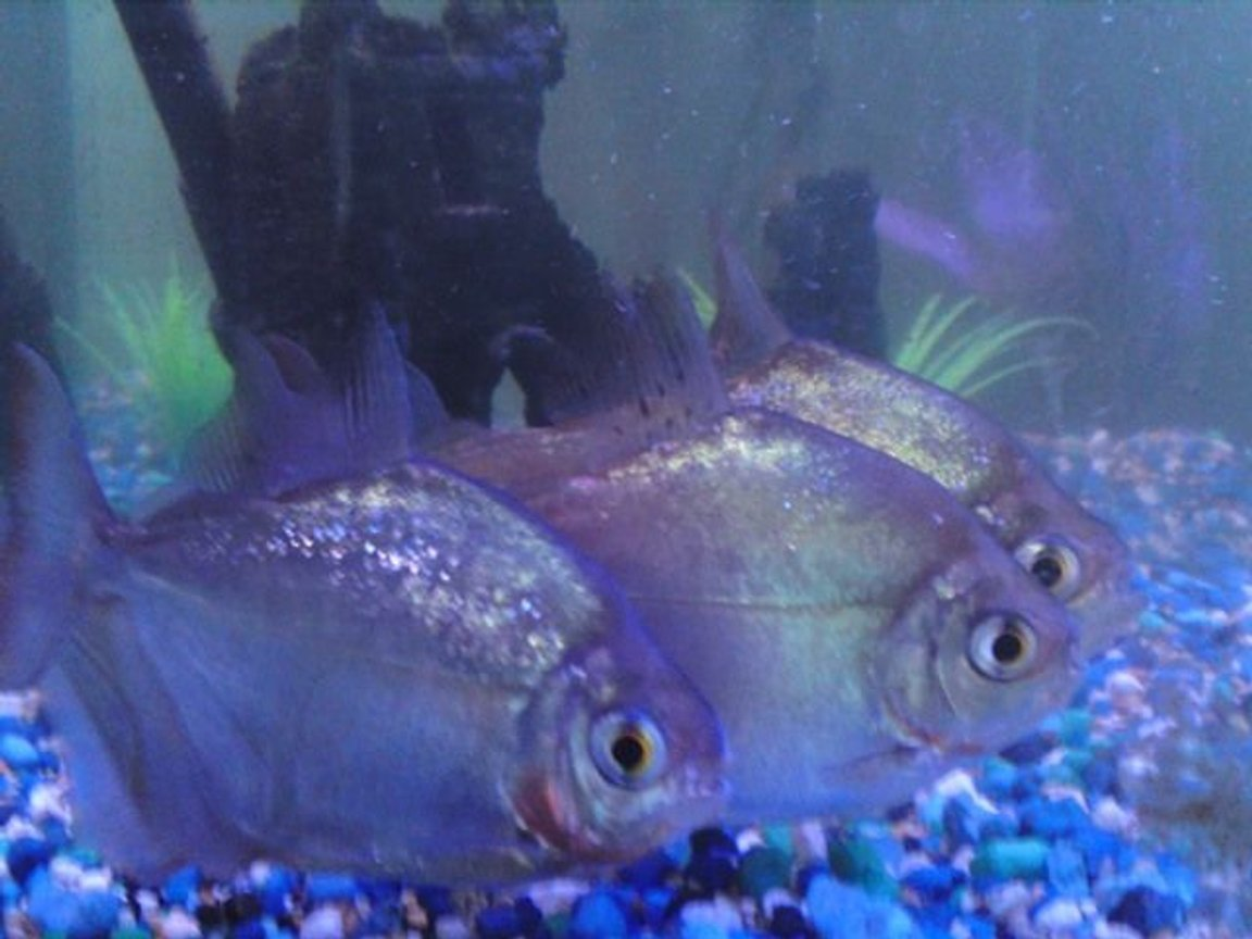 freshwater fish - metynnis argenteus - silver dollar stocking in 25 gallons tank - Silver Dollars side 1