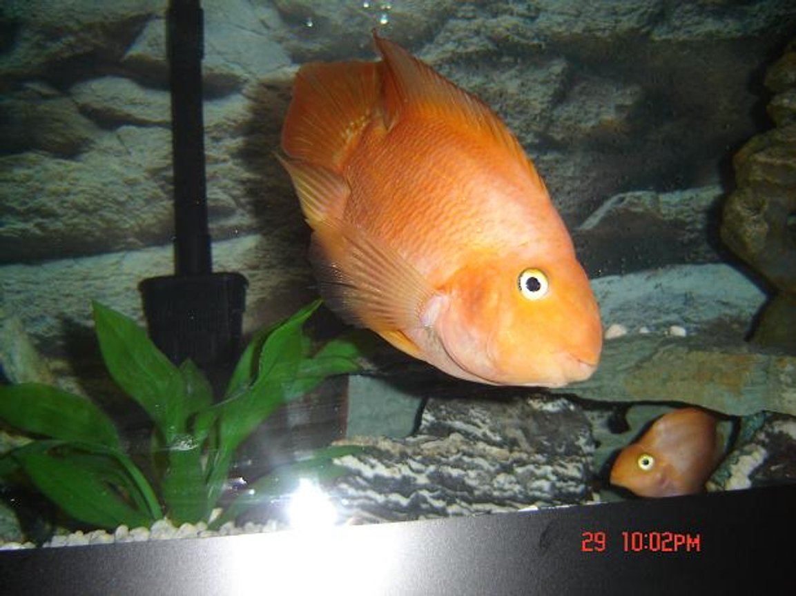 freshwater fish - heros severus x amphilophus citrinellum - blood parrot stocking in 72 gallons tank - Moby loves the camera!