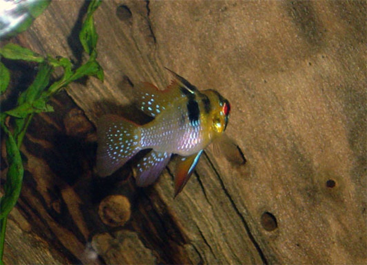 freshwater fish - papiliochromis ramirezi - german blue ram stocking in 55 gallons tank - another look at one of my german rams....