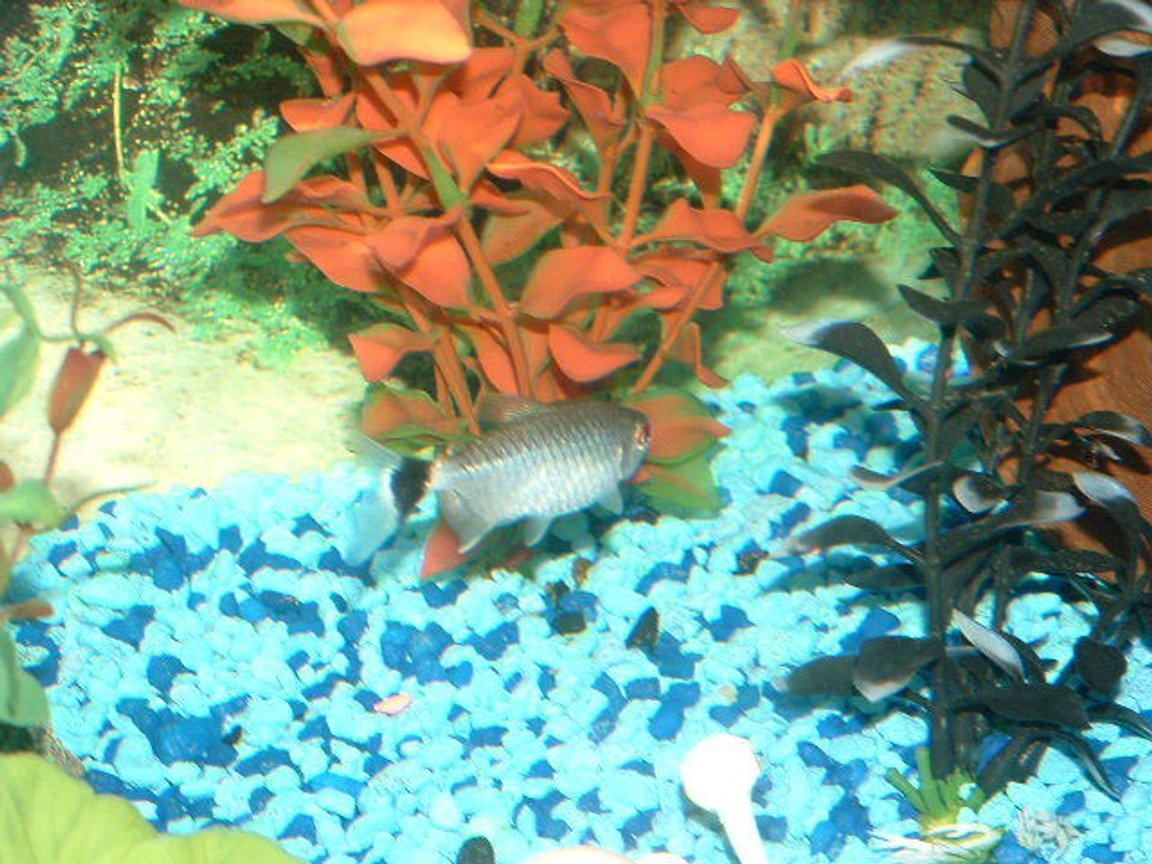 freshwater fish - moenkhausia sanctaefilomene - red eye tetra stocking in 30 gallons tank - This is my Red Eye Tetra.