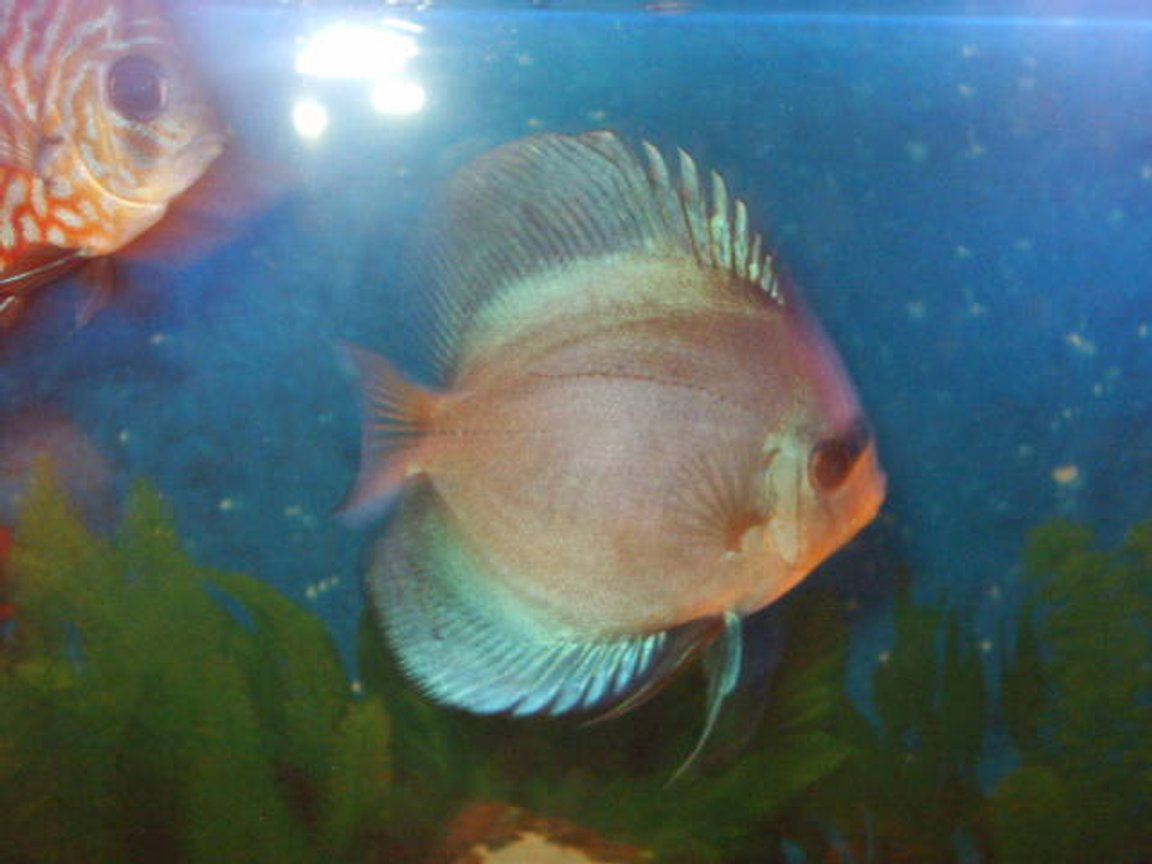 freshwater fish - ocean green discus stocking in 55 gallons tank - discus