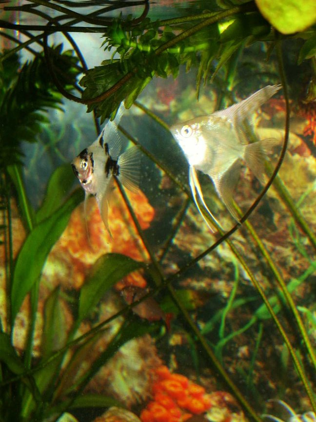 freshwater fish - pterophyllum scalare - angel fish stocking in 10 gallons tank - angel fish