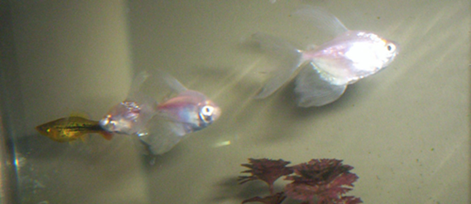 freshwater fish - gymnocorymbus ternetzi - white skirt tetra stocking in 35 gallons tank - White skirt tetras