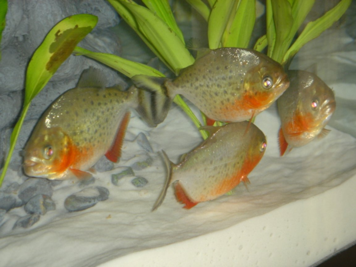 freshwater fish - pygocentrus nattereri - redbellied pirhana stocking in 46 gallons tank - 3 Month old Nanhas