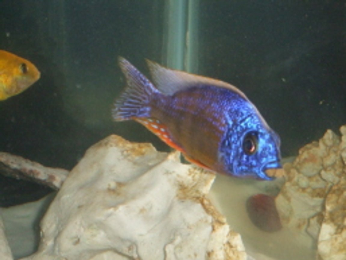 freshwater fish - protomelas steveni - taiwan reef stocking in 75 gallons tank - A very greedy fish!