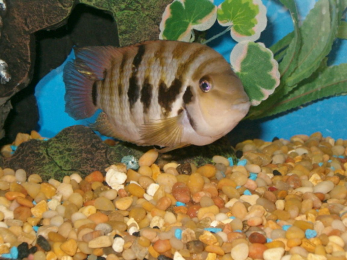"freshwater fish - archocentrus nigrofasciatus - black convict cichlid stocking in 20 gallons tank - ""jack"" - my new convict cichlid. 20 gallon tall."