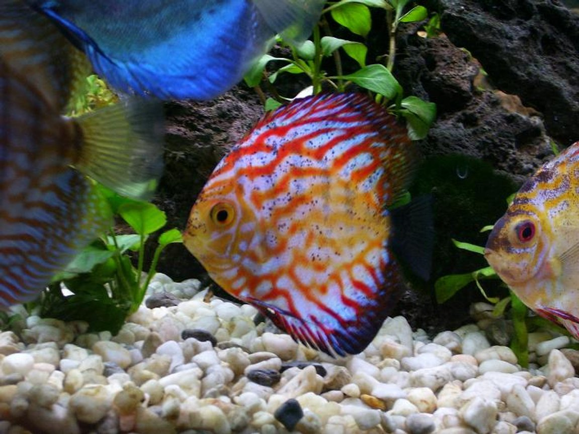 freshwater fish - symphysodon sp. - royal red discus stocking in 100 gallons tank - Discus