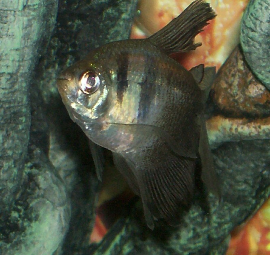 freshwater fish - gymnocorymbus sp. - black skirt tetra stocking in 30 gallons tank - one of my black skirt tetra