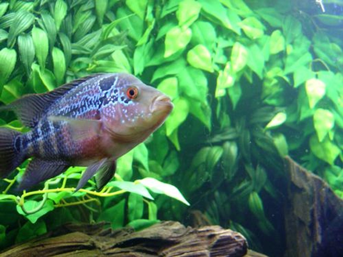 freshwater fish - cichlasoma sp. - flower horn cichlid stocking in 72 gallons tank - Flowerhorn.