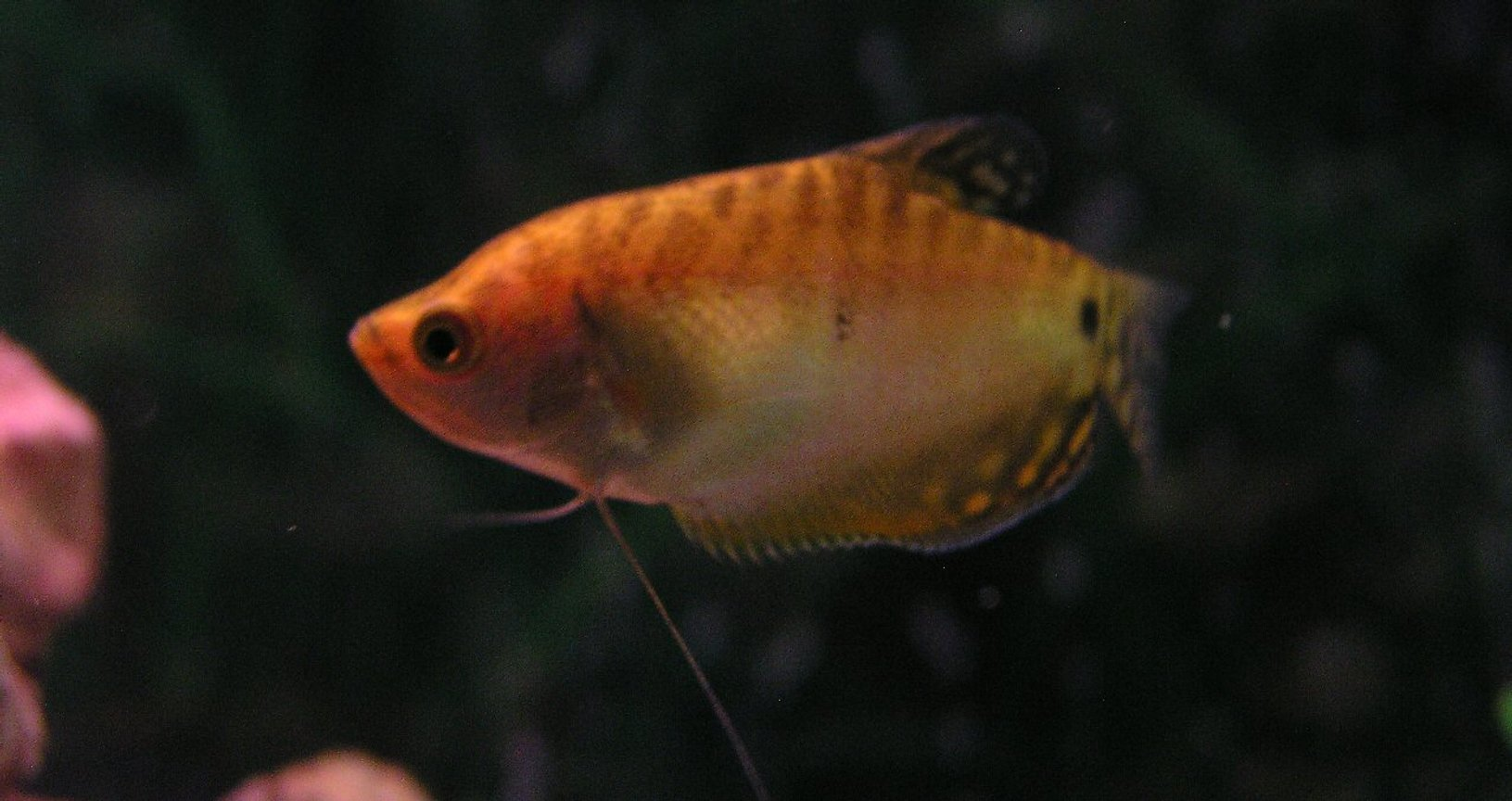 freshwater fish - trichogaster trichopterus - gold gourami stocking in 55 gallons tank - Gold Gourami; Week 2 added two