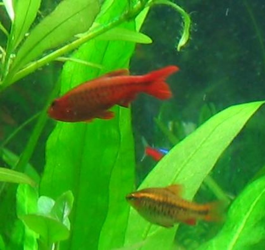 freshwater fish - puntius titteya - cherry barb stocking in 40 gallons tank - Cherry barb, male and female